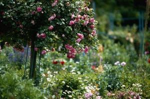 Sådan Care for en Potted Rose Tree