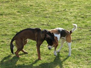 Flydende meloxicam til hunde