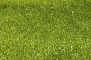 Hvordan man styrer rajgræs
