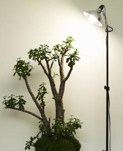 Hvor ofte skal jeg vand om Jade Plant?