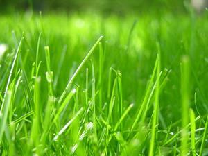 Hvornår skal skære nye græs